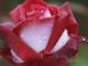 Endrédi Mária Lehullott a rózsalevél