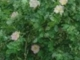 Szeleczky Zita Tele van a csipkebokor virággal