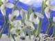 Bojtorján - Hóvirág