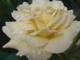 Weörös Sándor - Rózsa, rózsa
