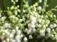 Tavasszal, ha kinyílnak a fehér gyöngyvirágok