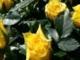 Rózsa rózsa sárga rózsa - Kaczor Feri