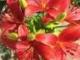 Piros liliom